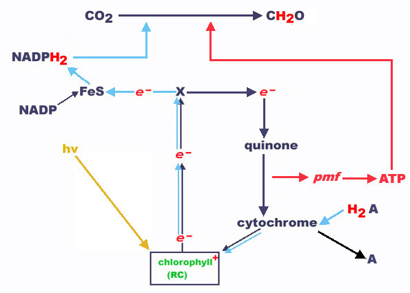 difference between light and dark reactions of photosynthesis pdf